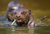 giant river otter, Pteronura brasiliensis, feeding on fish, Cuiaba river, Brazil
