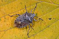 Graue Gartenwanze, Graue Feldwanze, Rhaphigaster nebulosa, Mottled Shieldbug, Mottled shield bug, Brown-mottled shield bug, Brown-mottled shieldbug