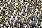 Tightly-packed juvenile King Penguins transform into adults as they molt their baby down, South Georgia Island