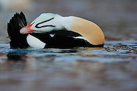 King eider duck male, Somateria spectabilis, Båtsfjord village harbour, Varanger Peninsula, Norway, Scandinavia