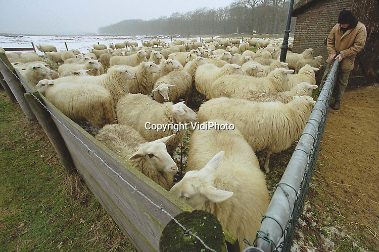 Foto: VidiPhoto..EDE - De Edese schaapskudde gaat deze week niet de hei op. Dat de Ginkelse hei op dit moment bedekt is met een laagje sneeuw, heeft daar niets mee te maken. Schaapherder Henk van den Brandhorst is ziek en daarom moeten de dieren bij de kooi blijven. Maar ondanks de flinke griep die de herder het werken onmogelijk maakt, komt hij iedere dag toch even zijn .schapen voeren.