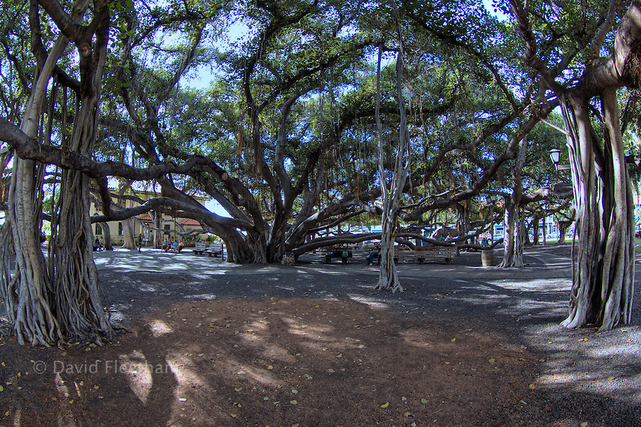 This banyan tree was planted in 1873 and is one of the largest in the US covering an entire city block, Lahaina, Maui, Hawaii.  The building in the background is the Lahaina Arts Society, Jail Gallery.  This is a HDR photograph.