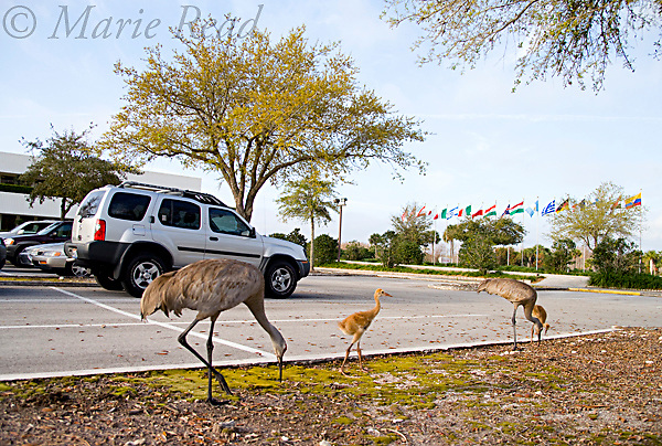Greater Sandhill Cranes (Grus canadensis) (Florida race), 2 adults and 2 chicks in suburban parking lot, Kissimmee, Florida, USA