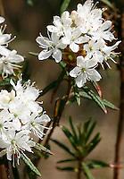Sumpf-Porst, Sumpfporst, Porst, Ledum palustre, Rhododendron tomentosum, Rhododendron palustre, Wild Rosemary, Marsh Labrador tea, northern Labrador tea, Lédum des marais