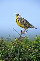 Eastern Meadowlark - Sturnella magna - Adult male