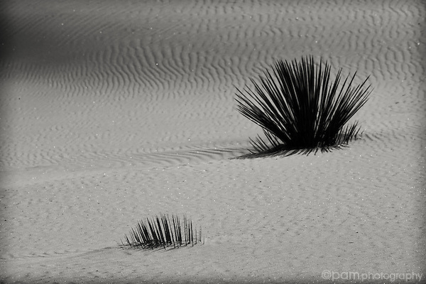 Two yuccas on white sand dune