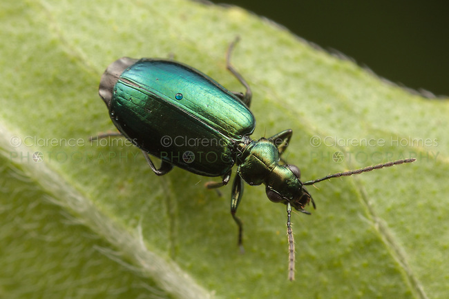 Colorful Foliage Ground Beetle (Lebia viridis), Bald Eagle State Park, Howard, Centre County, Pennsylvania