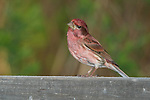 Male purple finch (Carpodacus purpureus) looking down at something