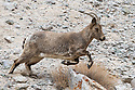 Female Himalayan ibex (Capra sibirica) running. Himalayas, Ladakh, northern India.