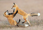 A pair of fox cubs get to grips with each other as they play fight.  The tussling cubs were learning skills which will serve them well in later life as they pounced on each other.<br /> <br /> In total, a group of four young red foxes from the same family were photographed chasing each other and exploring the world around them on  the San Juan Islands, a small archipelago in the Pacific Northwest.  While their parents were out hunting, the cubs searched out rabbit warrens and fought with each other.  SEE OUR COPY FOR DETAILS.<br /> <br /> Please byline: Max Waugh/Solent News<br /> <br /> © Max Waugh/Solent News & Photo Agency<br /> UK +44 (0) 2380 458800