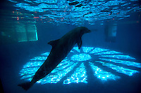 A dolphin drifts idly in a tank shortly after a performance show ends and patrons exited for other attractions at Sea Life Park in Waimanalo, HI. (photo © Karen Ducey)