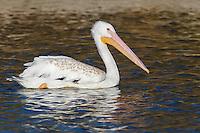American White Pelican - Pelecanus erythrorhynchos - Juvenile