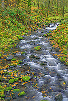 USA, Oregon, Columbia River Gorge National Scenic Area, Gorton Creek and autumn foliage with fallen leaves of bigleaf maple and moss covered rocks and trees.