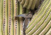 A Mourning Dove, Zenaida macroura, approaches its nest in a Saguaro cactus, Carnegiea gigantea, in the Desert Botanical Garden, Phoenix, Arizona