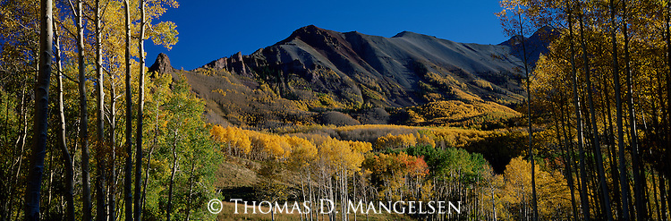 Aspens, in varying stages of changing color, light up a mountainside on a warm October morning in Uncompahgre National Forest, Colorado.