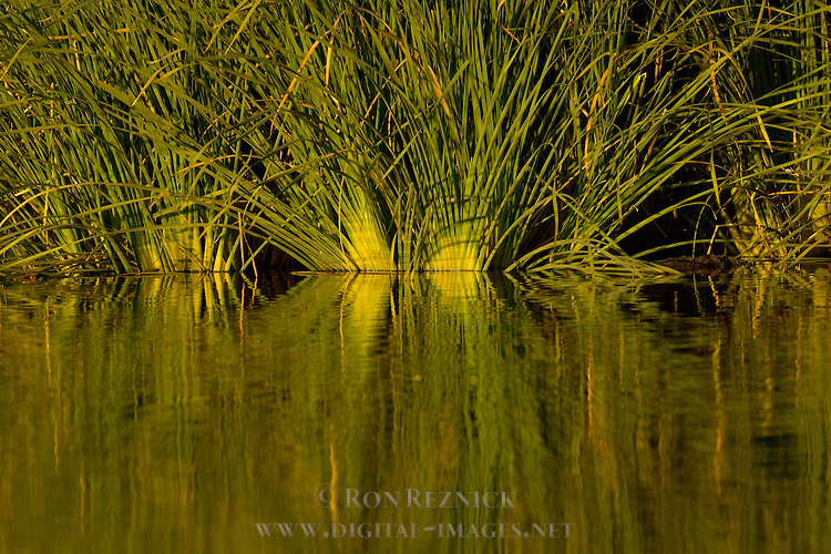 Reeds, Sepulveda Wildlife Refuge, Los Angeles CA