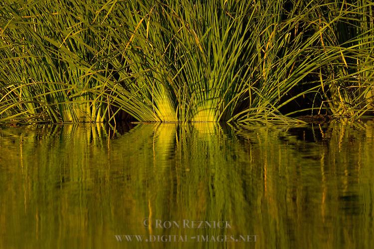 Reeds, Sepulveda Wildlife Refuge, Los Angeles CA