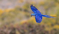 Once threatened due to habitat loss and the exotic pet trade, Hyacinth macaws are beginning to rebound.