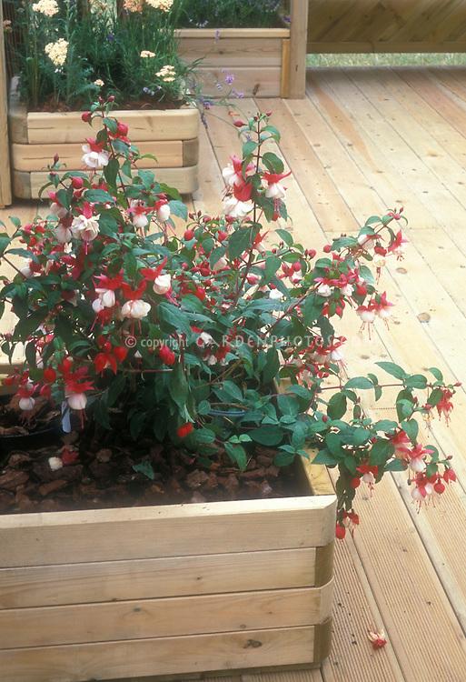 Fuchsia Madame Cornelissen in bloom in container on wooden deck