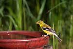 Female American goldfinch perched on a bird bath