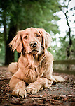 Portrait of a golden retreiver service dog; editorial for Diabetes Forecast
