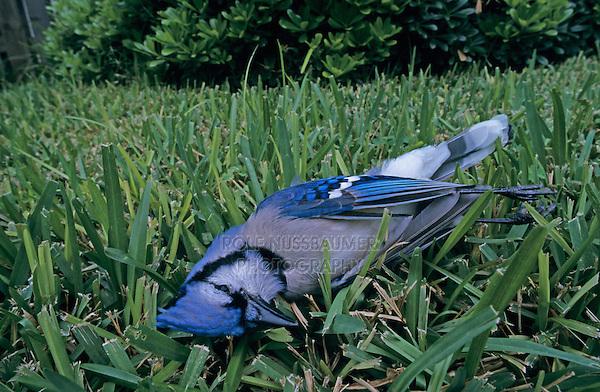 Blue Jay, Cyanocitta cristata,adult dead on lawn, San Antonio, Texas, USA, Oktober 2003