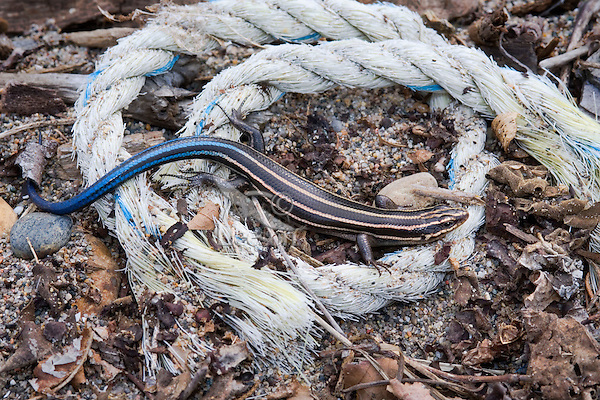 Five-Lined Skink (Eumeces fasciatus). Juvenile skink has bright blue tail to distract predators from its more vulnerable parts. All skinks can shed their tail when attacked, and later the tail grows back. Only lizard found in Eastern Canada (in Southern Ontario). Along Lakes Erie, Huron and Ontario skinks may be found amid shoreline debris and vegetation bordering sandy beaches. This skink photographed in May along Lake Erie in Point Pelee National Park, Ontario. Canada.