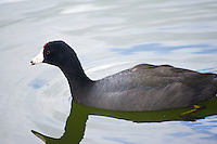 American coot, Morton Lake, Lakeland, Florida