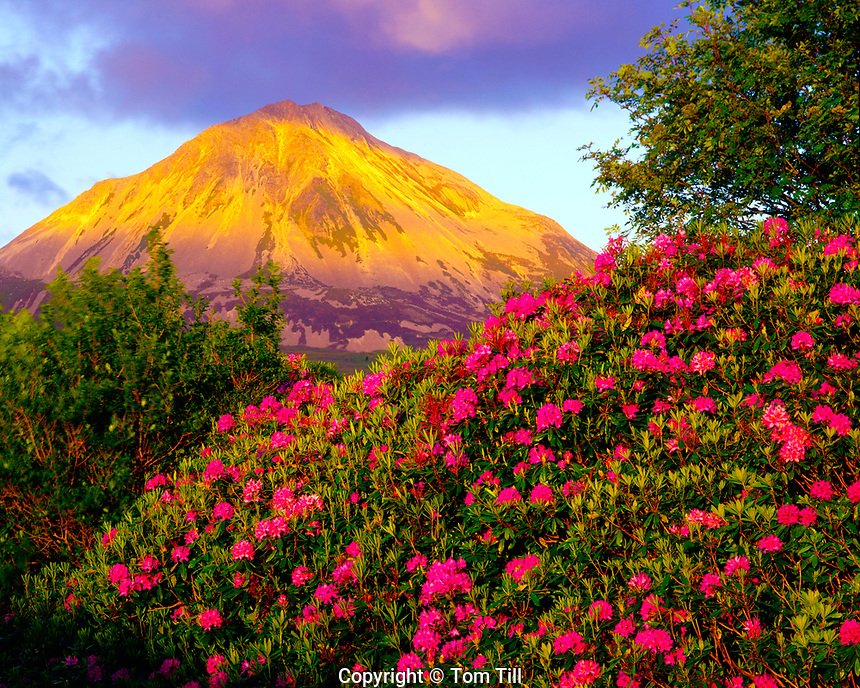 Mount Errigal and Rhodendrons, County Donegal, Republic of Ireland, Lare peak near Glenveagh National Park, Sunset, June