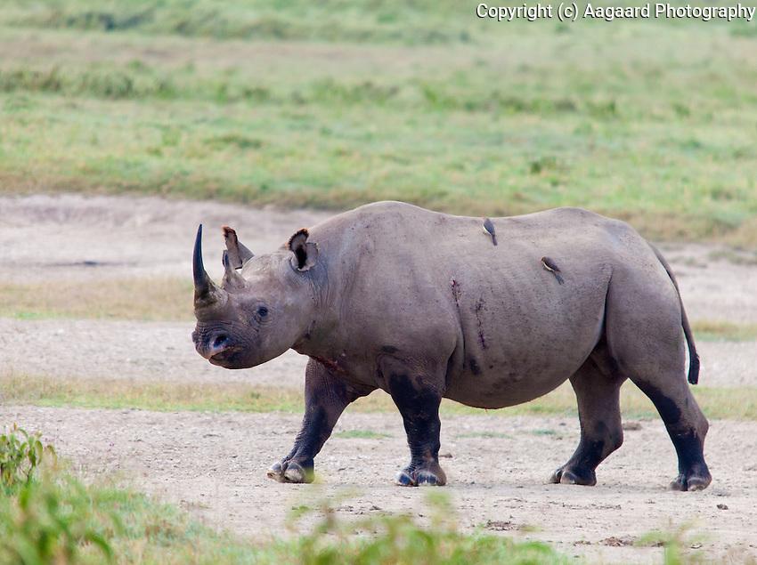 Rhino, Lake Nakuru National Park, Kenya.  Note the injuries on this rhino's flank.<br /> <br /> We saw a total of 27 rhino in our day at Nakuru National Park - quite amazing.
