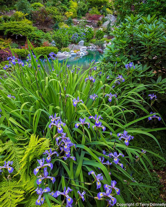 Vashon Island, WA: Flowering Siberian Iris blossoming in a spring garden