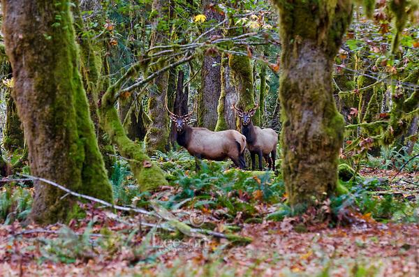 Roosevelt Elk Bulls (Cervus canadensis roosevelti) in Olympic National Park Rainforest.  October.