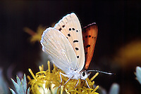 MOTHS AND BUTTERFLIES.<br /> Copper Butterfly