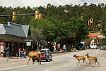 American elk (Cervus elaphus) crossing through the traffic on Elkhorn Avenue in busy downtown Estes Park, Colorado on a summer morning