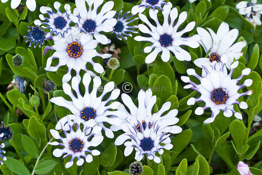 Osteospermum 'White Purple'