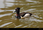Ring-necked Duck, Male, Drake, LA Arboretum, Southern California