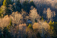 Evening light on a hardwood forest near Connery Pond in the adirondack Mountains of New York state
