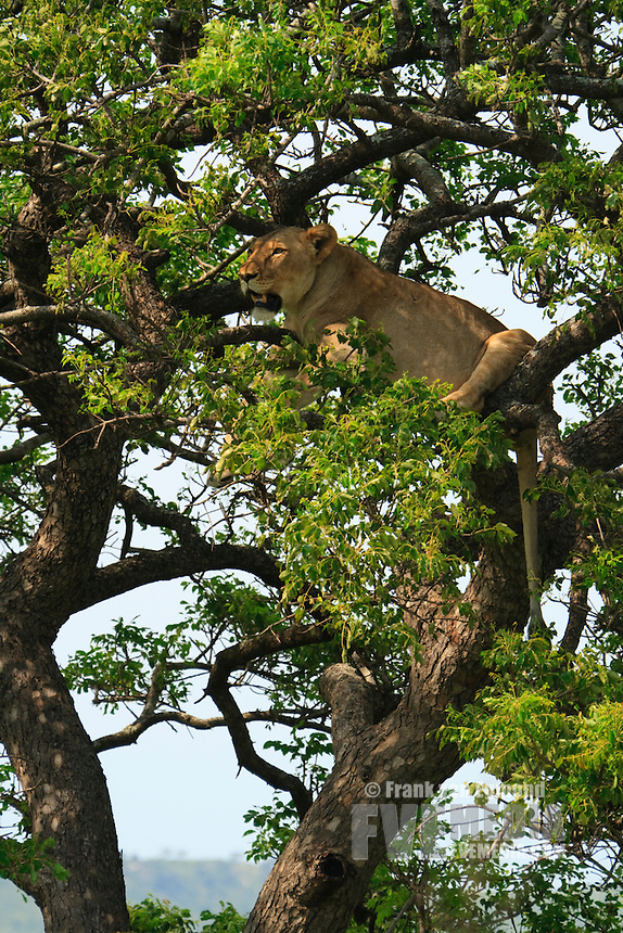 Lioness in a Marulla tree. Hluhluwe-Imfolozi, Kwazulu-Natal, South Africa.