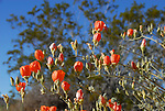 Apricot mallow at Joshua Tree NP