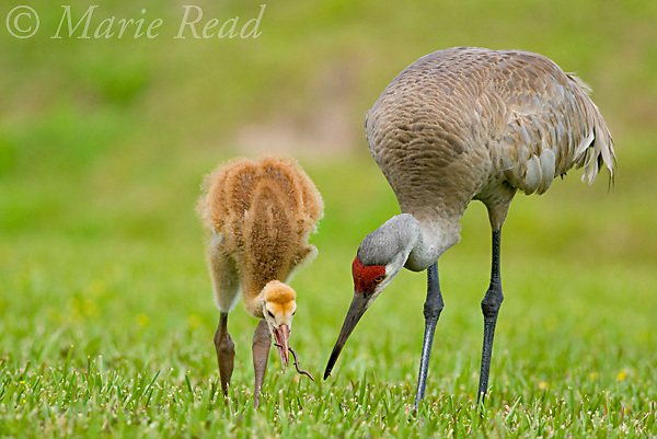 Greater Sandhill Cranes (Grus canadensis) (Florida race), adult and chick foraging, chick eating earthworm, Kissimmee, Florida, USA