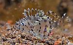Lionfish juv, Underwater macro marine life images;  Photographed in Tulamben; Liberty Resort; Indonesia.Underwater Macro Photographer on FB 2nd Annual event