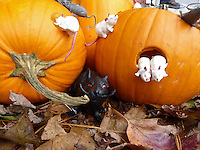 Pumpkin mice: Jack o' lanterns with Halloween mice, Maine