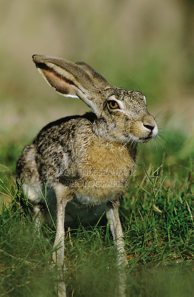 Black-tailed Jackrabbit, Lepus californicus, adult drinking, Starr County, Rio Grande Valley, Texas, USA, May 2002
