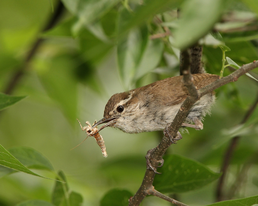 The Bewick's Wren is a small gray and brown songbird.