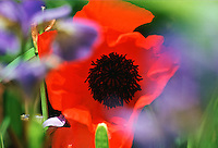 Poppy, United Kingdom.