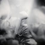 Close up of a Rosebud on a Rose bush