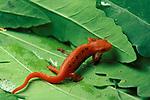Red Spotted Newt, Red Eft, Notophthalmus v. viridescens, on leaves, juvenile terrestrial stage, salamander.