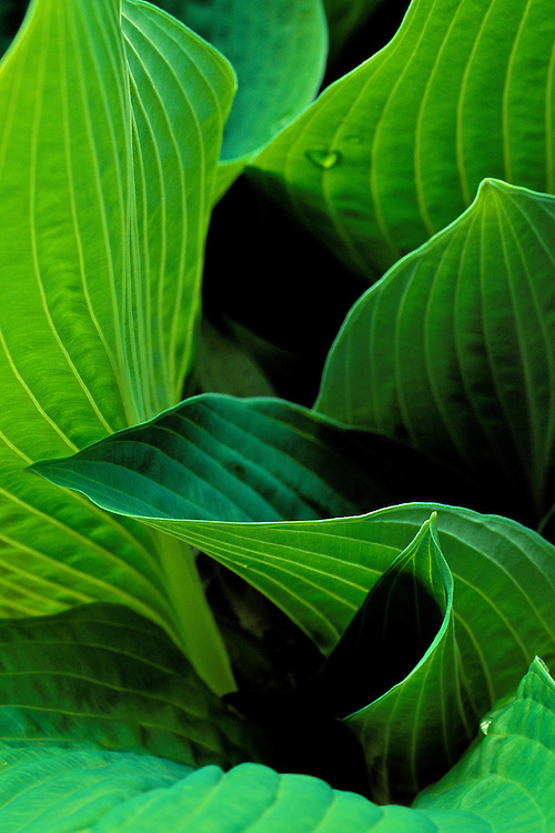 Curving leaves of hosta 'fortunei', with backlit veins showing in leaves, Creekside Gardens, Roberts Creek, BC