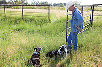 Cowboy rancher, Murray Thompson,  opening gate to pasture with border collie dogs