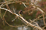 Black Phoebe, Tyrant Flycatcher, Descanso Gardens, Southern California